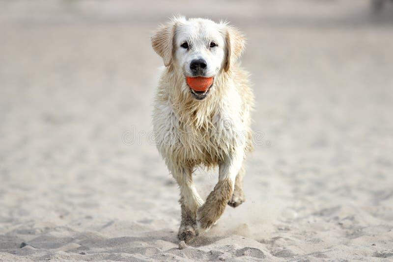 running sand för hund royaltyfria foton