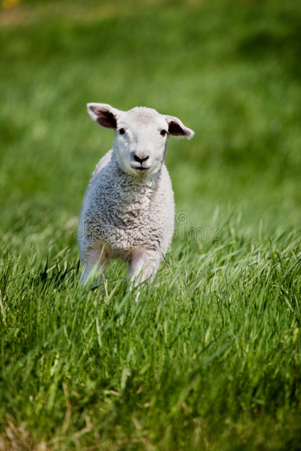 Free Running Sheep Royalty Free Stock Images - 9816859