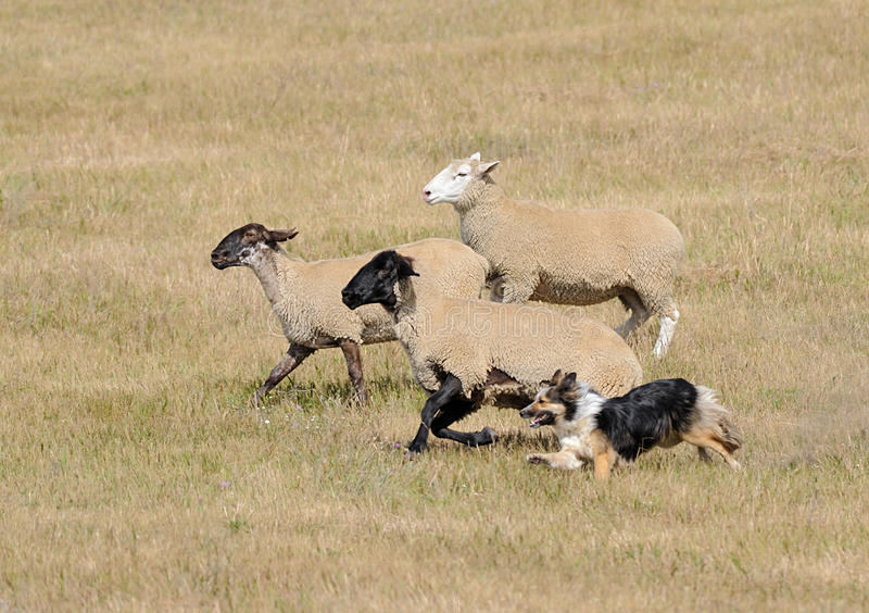 Running the Sheep (Ovus aries). Sheep herding dog takes trio of sheep across pasture - motion blur stock image