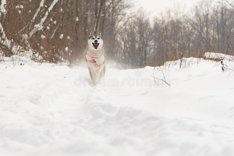 Running Siberian husky dog in winter forest outdoor on the snow stock photo