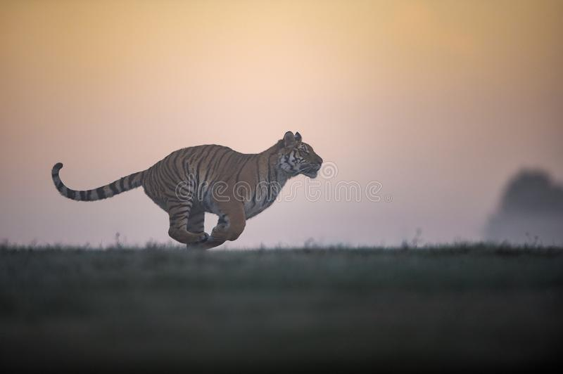 Running siberian tiger in sunrise. Tiger profil in agressive run with orange sky in background. Panthera tigris altaica. stock photo