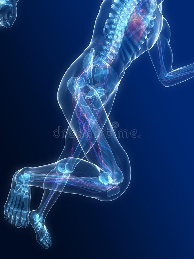Running skeleton - vascular system. 3d rendered illustration of a running skeleton with highlighted heart royalty free illustration