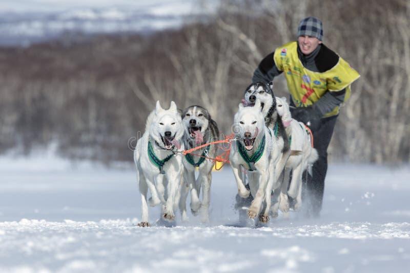 Running sled dog team Alaskan husky. Kamchatka Sled Dog Racing Beringia royalty free stock photos