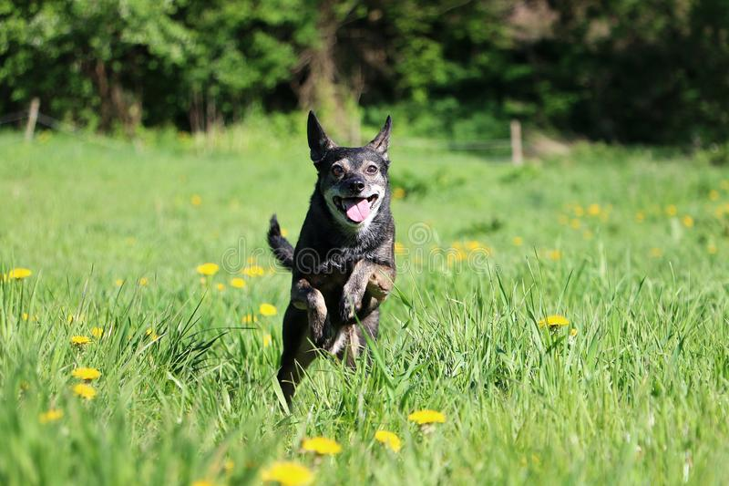 Running small mixed dog in the park royalty free stock image