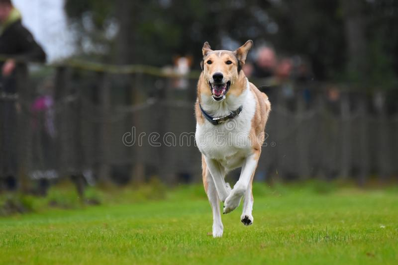 Running Smooth Collie. A Smooth Collie running on a racetrack royalty free stock photo
