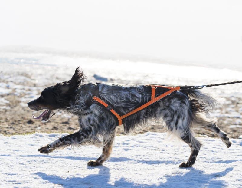 running snow för hund royaltyfri foto