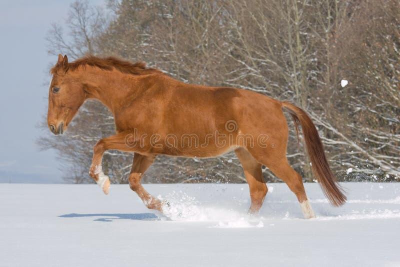 running sorrel för häststående royaltyfri fotografi