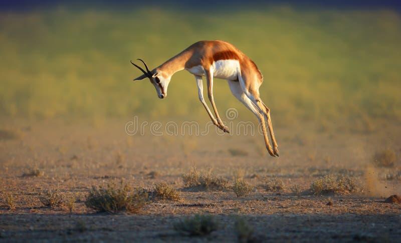 Running Springbok jumping high royalty free stock photography