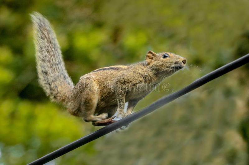 Running squirrel royalty free stock photo