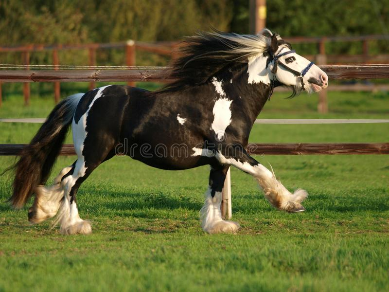 Running Stallion. A piebald gypsy cob stallion moves loose in a paddock royalty free stock photography