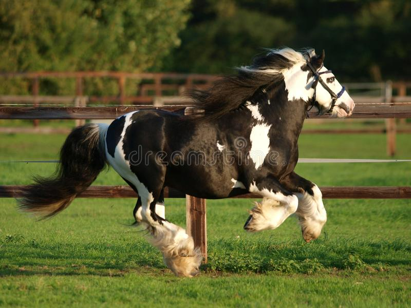 Running Stallion. A piebald gypsy cob stallion moves loose in a paddock royalty free stock image