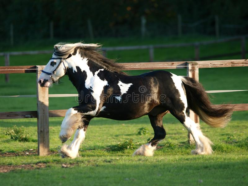 Running Stallion. A piebald gypsy cob stallion moves loose in a paddock royalty free stock photo