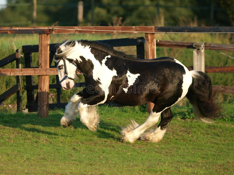 Running Stallion. A piebald gypsy cob stallion moves loose in a paddock stock images