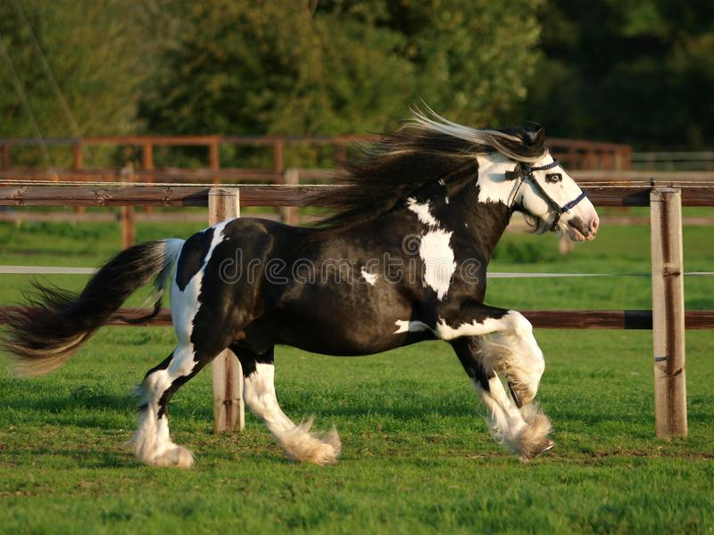 Running Stallion. A piebald gypsy cob stallion moves loose in a paddock stock image