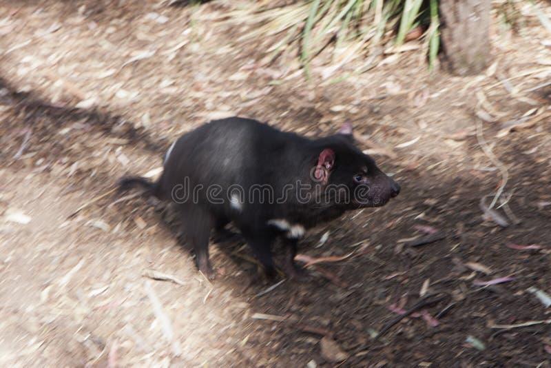 Running Tasmanian Devil royalty free stock images
