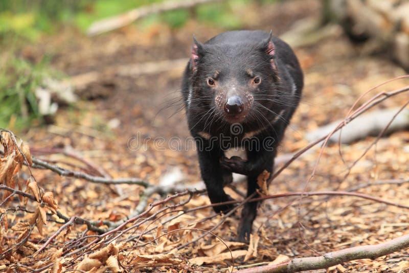 Running tasmanian devil. The running tasmanian devil on the soil royalty free stock photos