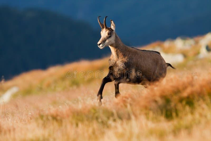 Running Tatra chamois royalty free stock photos