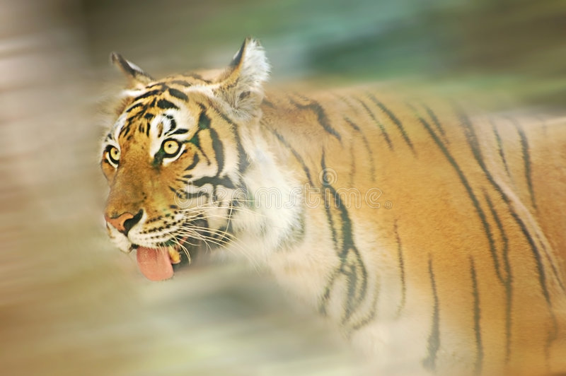 Running tiger. Motion blur of an adult Indochinese tiger stock image