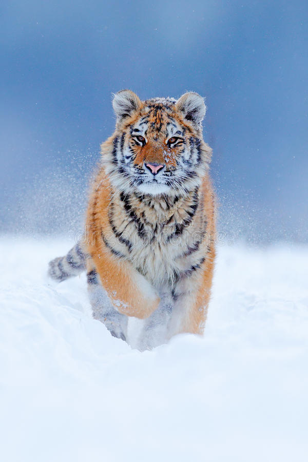 Running tiger with snowy face. Tiger in wild winter nature. Amur tiger running in the snow. Action wildlife scene, danger animal. Running tiger with snowy face royalty free stock photos