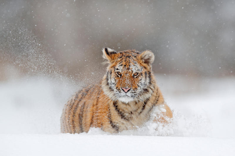 Running tiger with snowy face. Tiger in wild winter nature. Amur tiger running in the snow. Action wildlife scene, danger animal. Russia stock photo