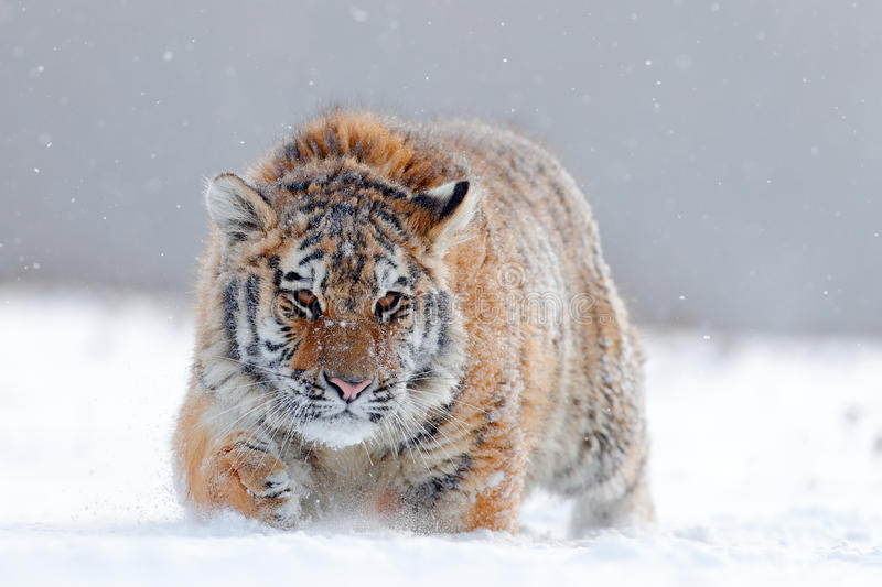 Running tiger with snowy face. Tiger in wild winter nature. Amur tiger running in the snow. Action wildlife scene, danger animal. Russia royalty free stock images
