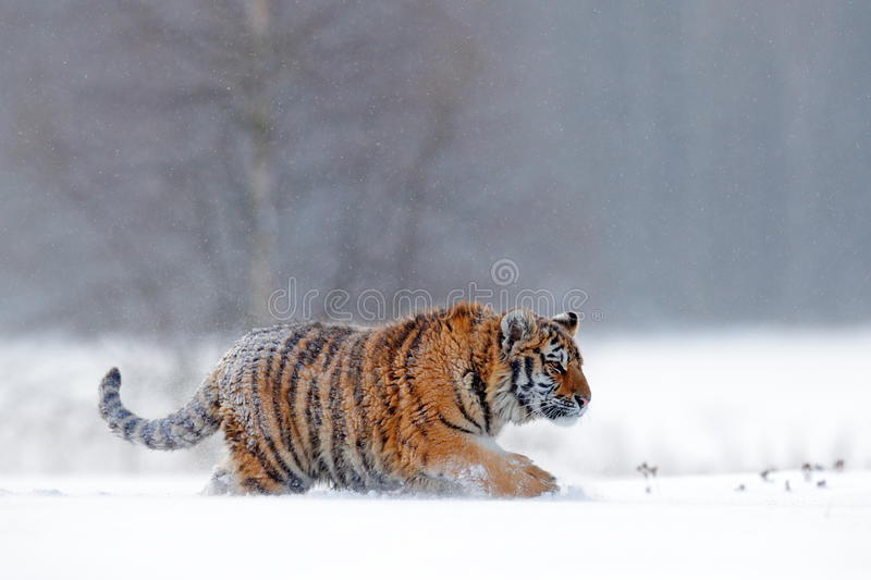 Running tiger with snowy face. Tiger in wild winter nature. Amur tiger running in the snow. Action wildlife scene, danger animal. Running tiger with snowy face stock image