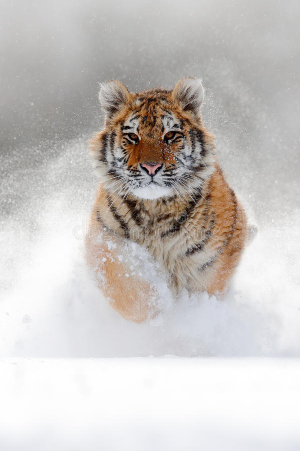 Running tiger with snowy face. Tiger in wild winter nature. Amur tiger running in the snow. Action wildlife scene, danger animal. China stock image