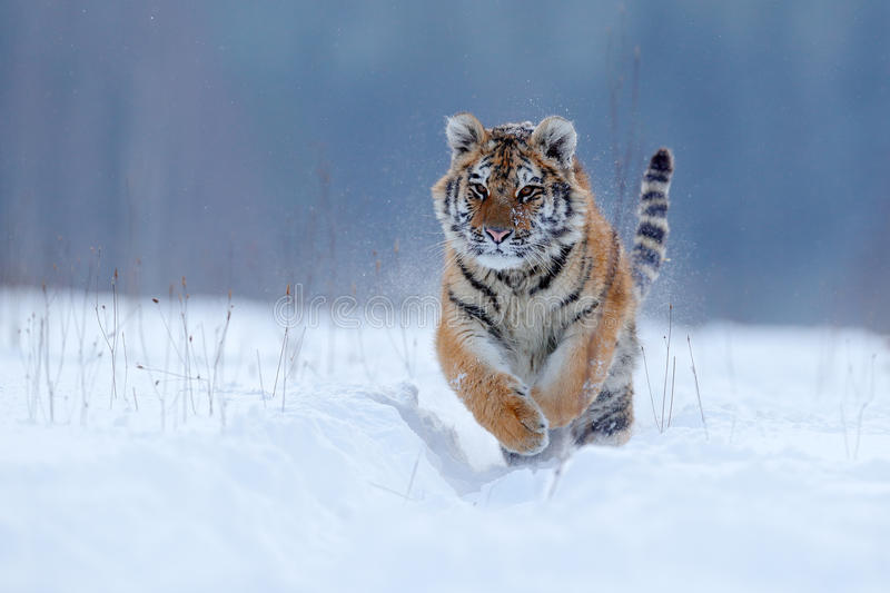 Running tiger with snowy face. Tiger in wild winter nature. Amur tiger running in the snow. Action wildlife scene, danger animal. Running tiger with snowy face stock photo