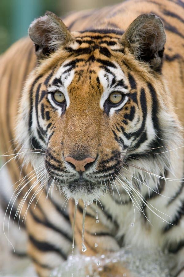 running tigervatten arkivfoto