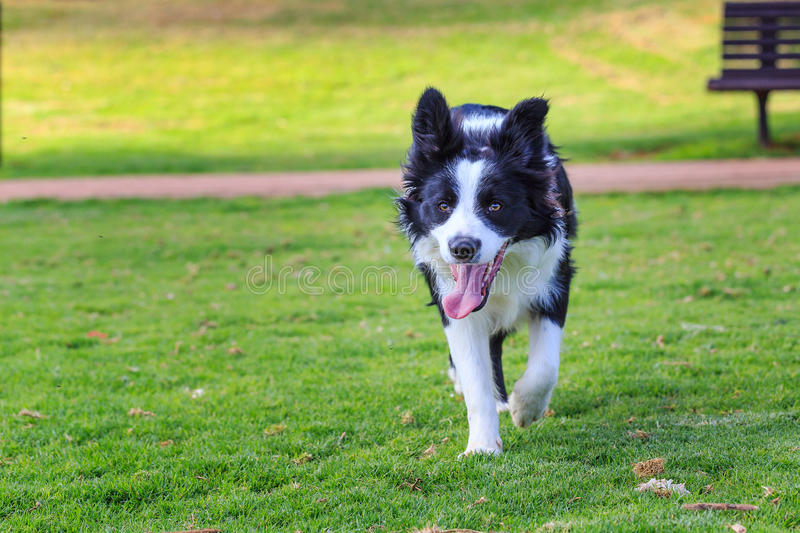Running toward funny collie dog royalty free stock photography