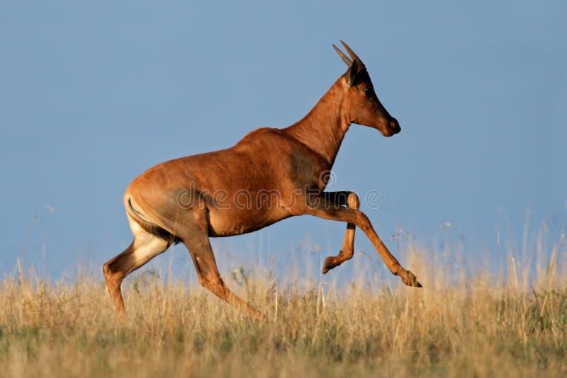 Download Running Tsessebe antelope stock image. Image of herbivore - 5049467