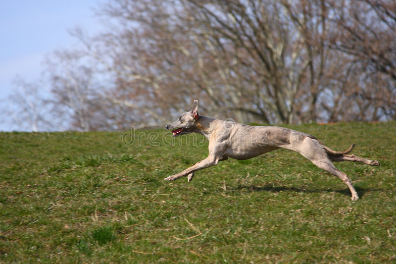 Running whippet royalty free stock image