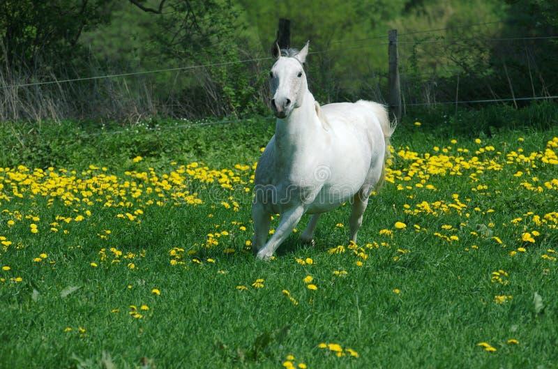Running White Horse In Yellow Stock Photos