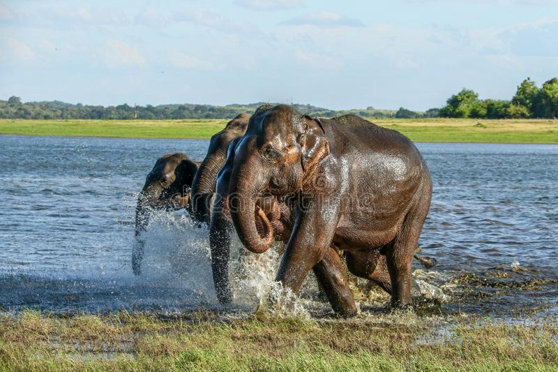 Running wild elephants at kaudulla tank, after bathing royalty free stock photography