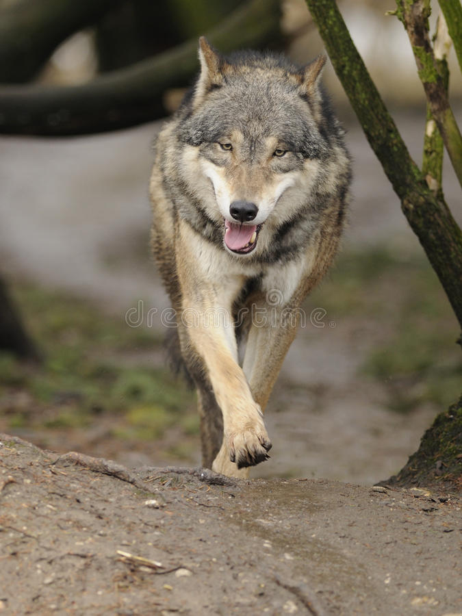 Running Wolf ( Canis lupus ). The gray or grey wolf often known as the wolf only royalty free stock images