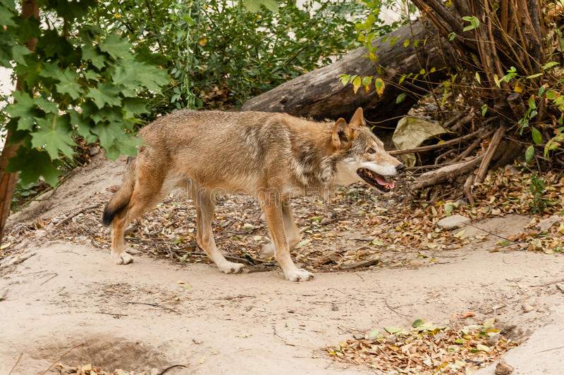Running wolf stock images