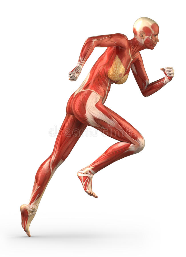 Running woman muscular system anatomy lateral view royalty free illustration