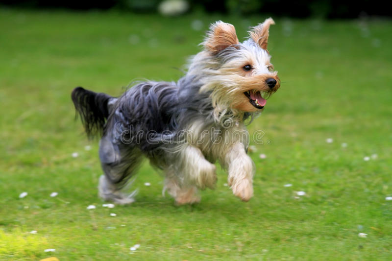 Download Running Yorkshire Terrier stock photo. Image of show - 25817890