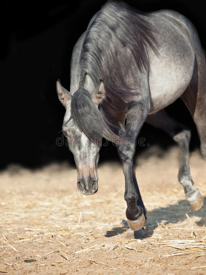 Running young arabian filly isolated at black. Sunny day royalty free stock image