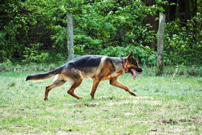 Running young dog Alsatian shepherd breed stock photography