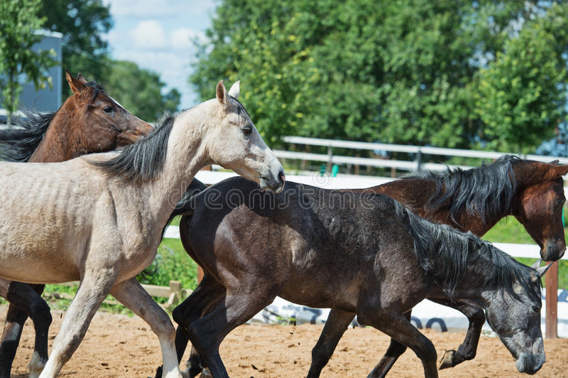 Running young horses in paddock. Summer stock photography
