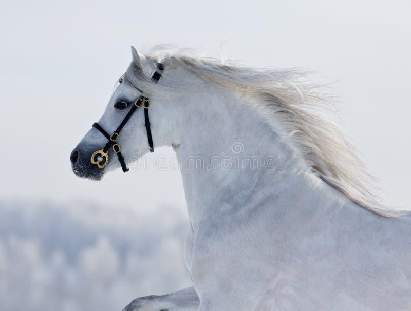 Runns bianchi del cavallo di Lingua gallese sulla collina immagine stock libera da diritti