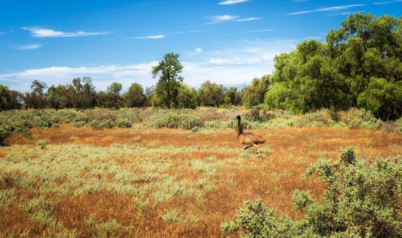 Runnung australien d'émeu en Mungo National Park, Australie photo libre de droits