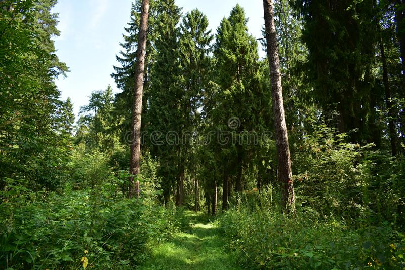 Runs the path among the fragrant fresh herbs evergreen forest smells of pine cones, resin and charm of the dense. Fairy forest royalty free stock photography