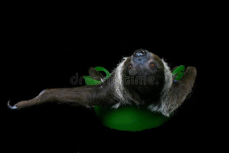 Runt Om Bara N-sloth Arkivbilder