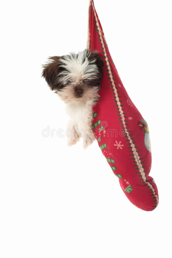 runt om jul som hänger valpstrumpan royaltyfria foton