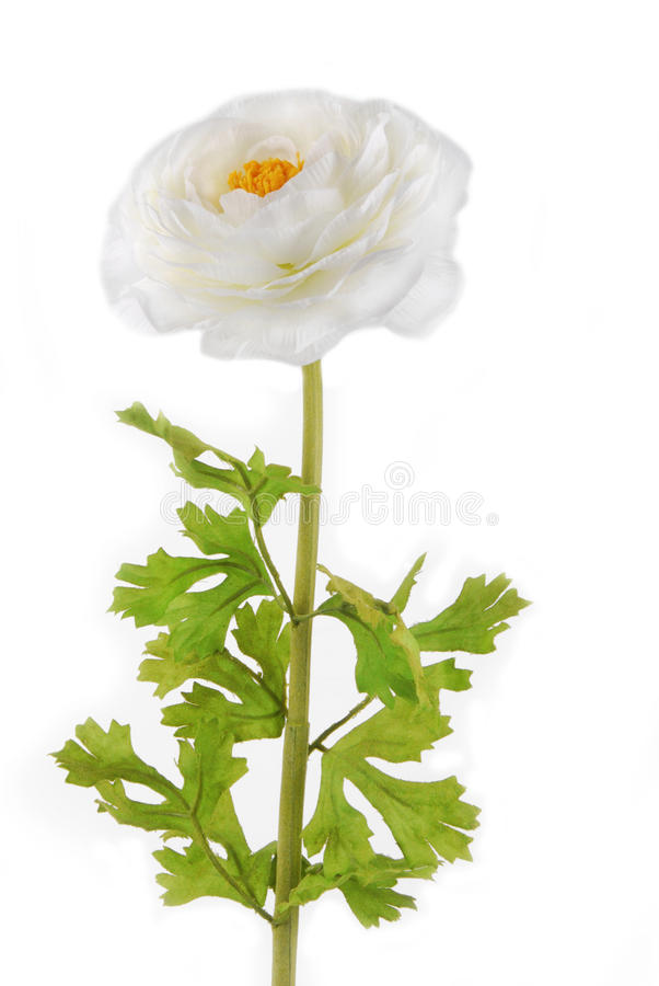 Rununculus Buttercup white flower royalty free stock photography