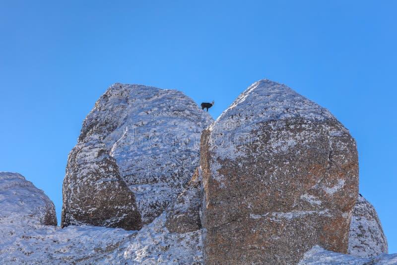 Rupicapra Carpatica de chamois sur la montagne photo libre de droits