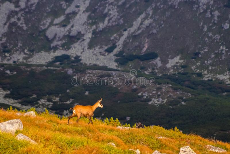 Rupicapra Tatrica del Rupicapra de la cabra de montaña alias en alto Tatras, Eslovaquia imagen de archivo libre de regalías
