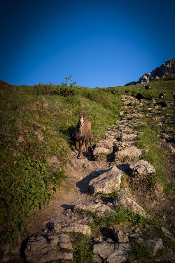 Rupicaprarupicapra som tas över berget Giewont Za royaltyfria bilder